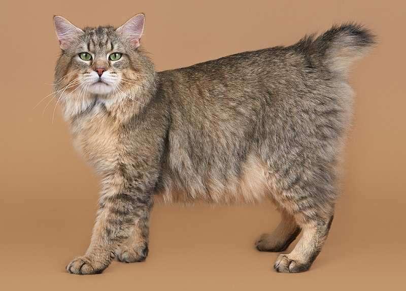 Домашняя рысь порода кошек фото