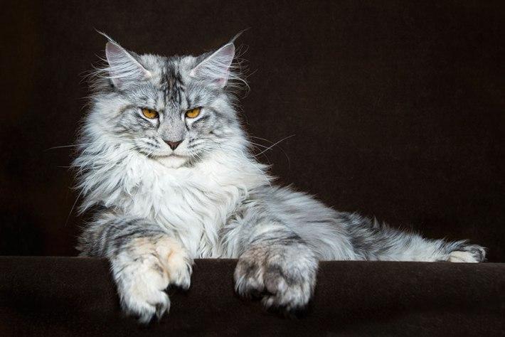 Котенок мейн-куна скучает