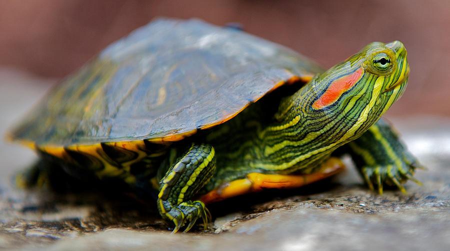 Красноухая черепаха: описание, кормление, уход