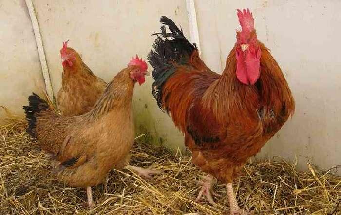 Кучинская юбилейная порода кур: содержание и продуктивность