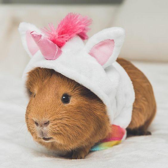 Морские свинки: уход и содержание в домашних условиях