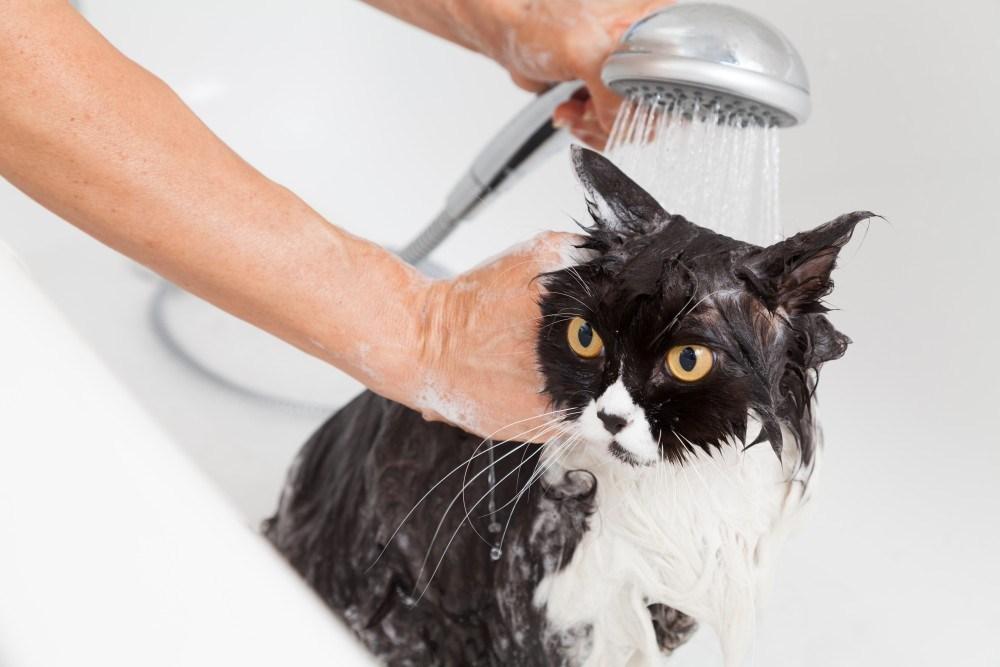Нужно ли мыть кошек и как часто это можно делать