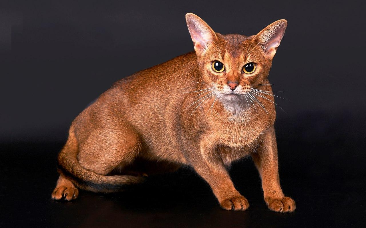 Описание абиссинской кошки. Отзывы