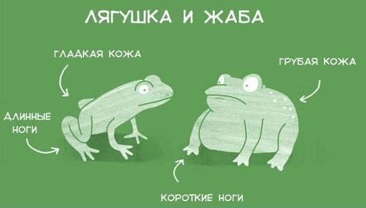Основные особенности амфибий, и чем отличается лягушка от жабы
