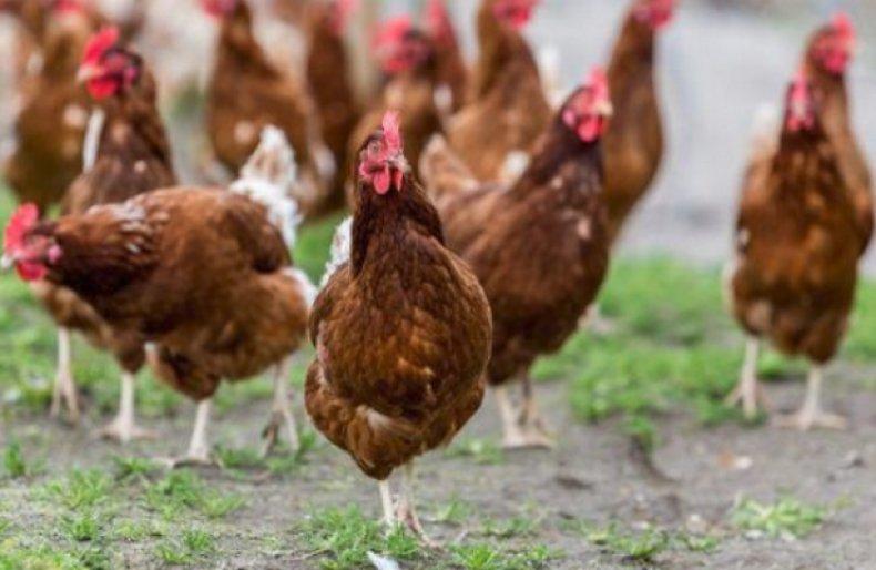 Основные породы яйценосных куриц