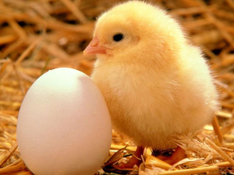 Особенности ухода и содержания цыплят бройлеров — чем их кормить