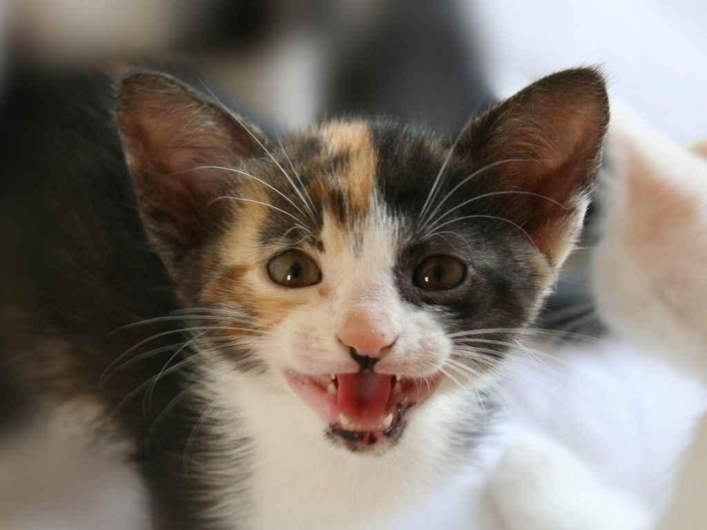 Почему котенок постоянно мяукает