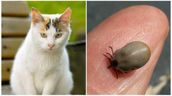 Последствия от укусов клещей у котов и кошек