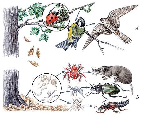 Примеры цепей питания в разных лесах