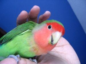 Приручение попугая-неразлучника