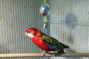 Приучаем к рукам попугая Розелла