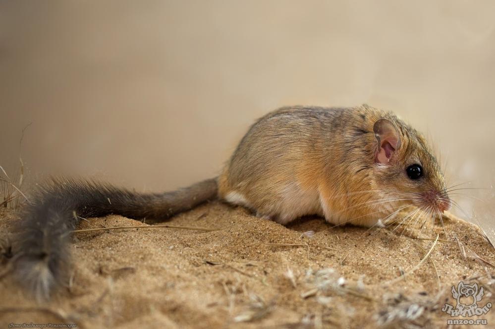 Пушистохвостая песчанка