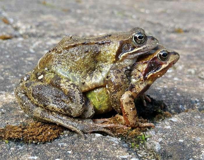 Размножение лягушек и уход за ними