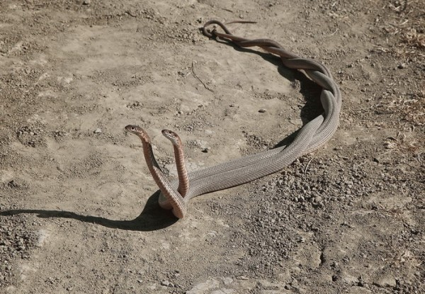Размножение змей