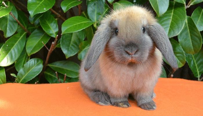 Разведение вислоухих карликовых кроликов