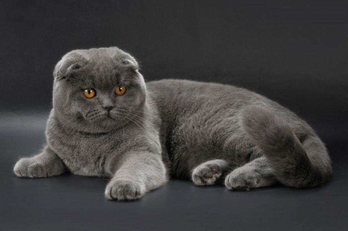 С какой породой лучше проводить вязку шотландских вислоухих кошек