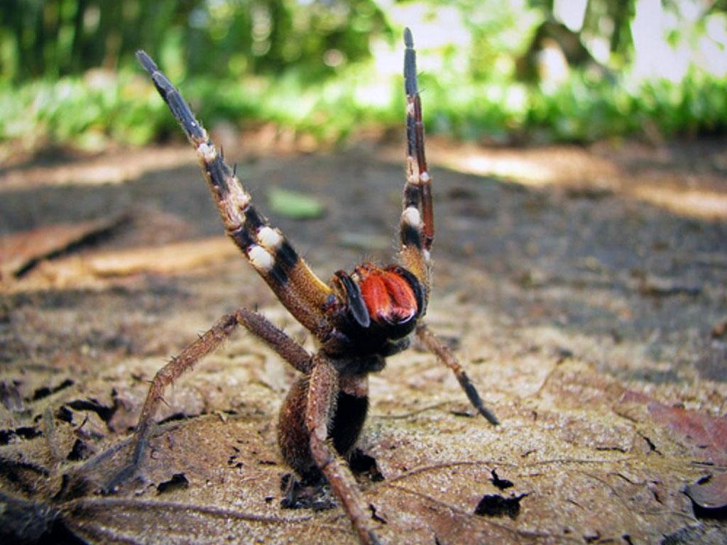 Самый опасные пауки в мире, какие бывают ядовитые пауки