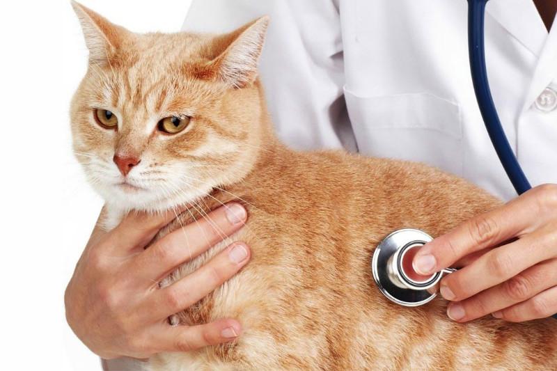 Симптомы и лечение цистита у кошек