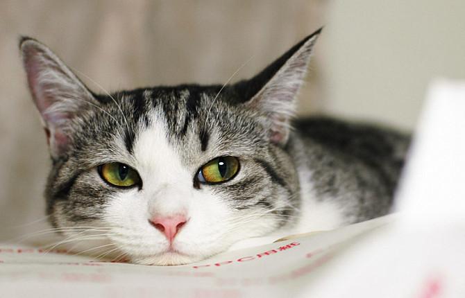 Симптомы и признаки токсоплазмоза у кошек, лечение