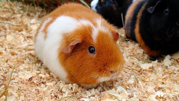 Сколько лет может жить морская свинка?