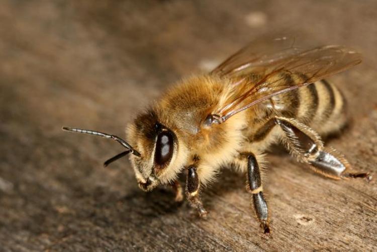 Сколько живут пчелы — особенности жизни насекомых