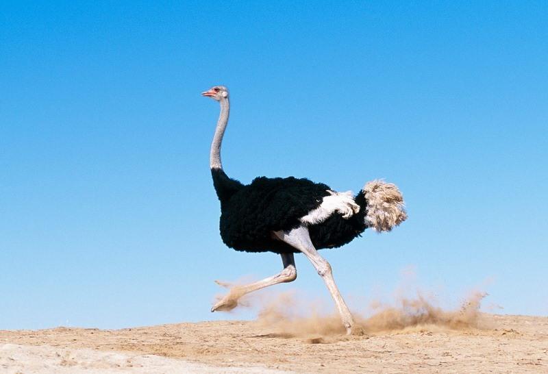 Скорость страуса и его повадки