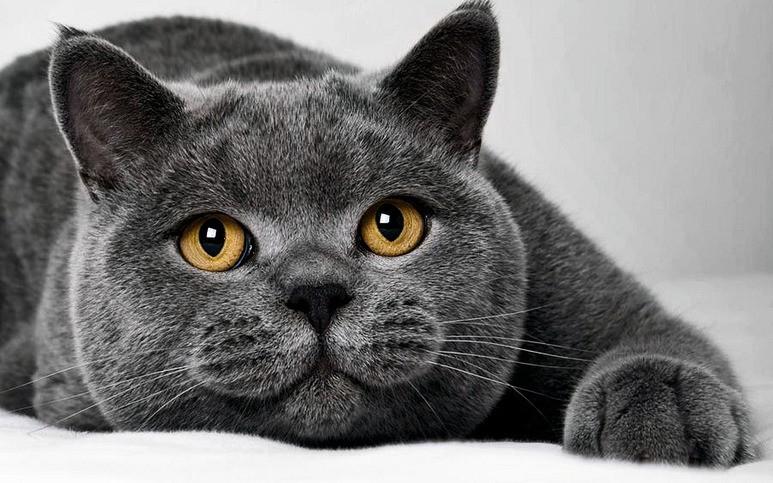 Вот такой британский короткошёрстный кот