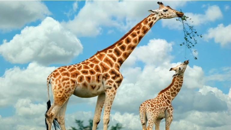 Все о жирафе: удивительные факты о животном