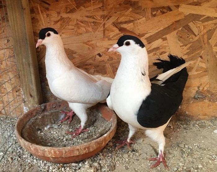 Отличительные черты афганских голубей