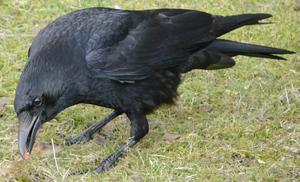 Хищная птица — ястреб. Кто ее ест?