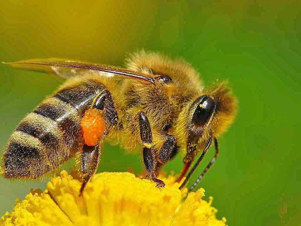 Способы отпугивания диких пчел