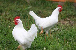 Особенности кур породы родонит