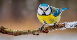 фото синичек зимой