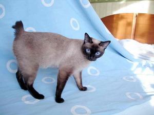 Порода кошек с короткими лапами