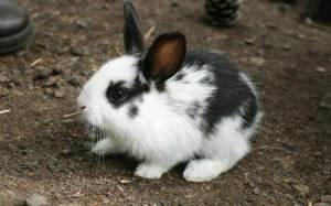 Сколько может жить декоративный кролик