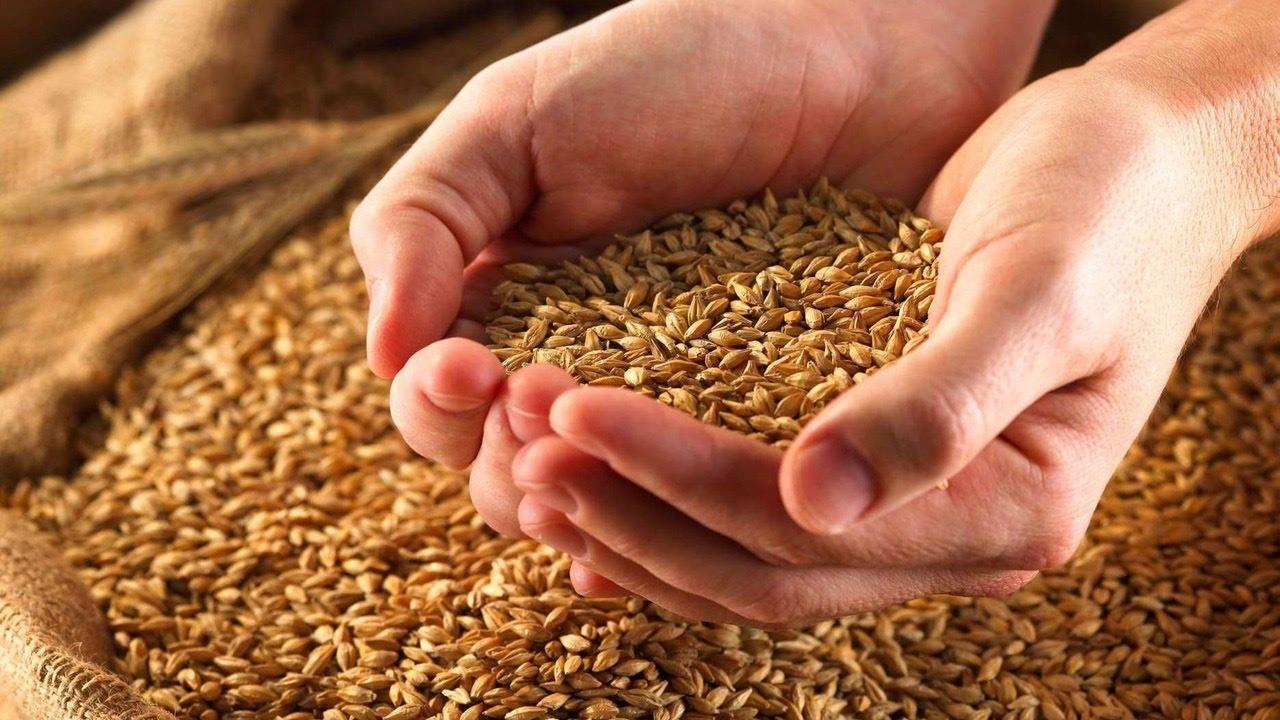 лучше приобретать пшеницу для кур