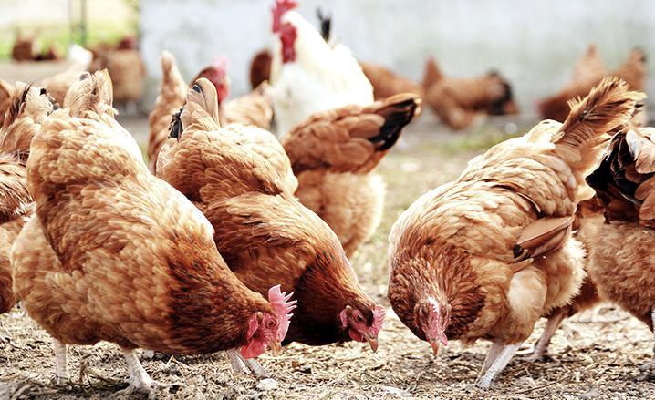Где лучше приобретать пшеницу для кур?