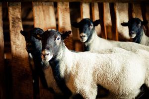 Гиссарская порода овец — выгодное вложение фермера