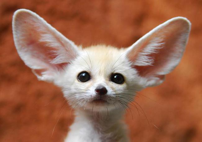 Маленький ушастый зверёк или пустынная лиса