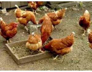 Выращивание и содержание цыплят несушек