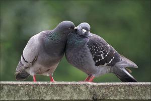 Чем можно отравить голубей: кто и почему это делает