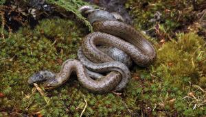 Какими способами могут размножаться змеи: фото