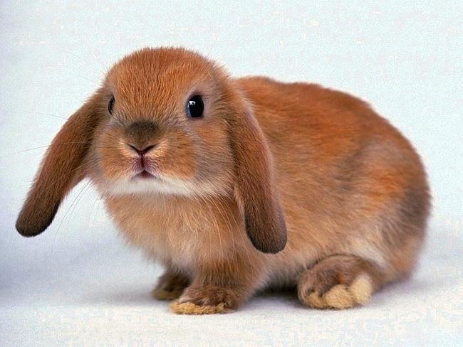 Как проходит вязка декоративных и карликовых кроликов