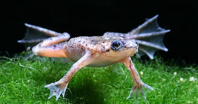 Аквариумные лягушки: особенности содержания