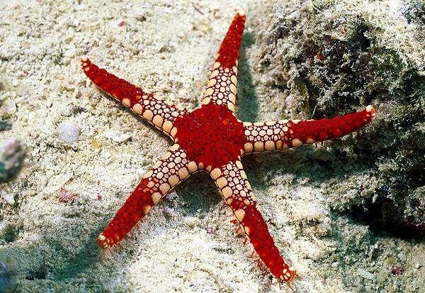 Аквариумные морские звезды