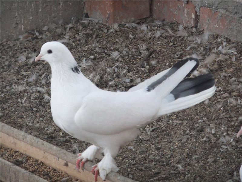 Бакинский бойный голубь и его разновидности