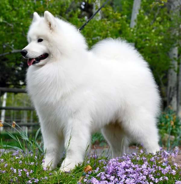 Белые пушистые породы собак: описание и характеристика