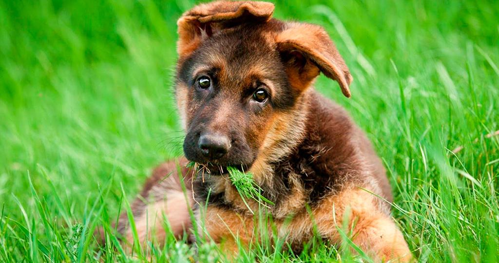 Чем рекомендуется кормить щенков немецкой овчарки?