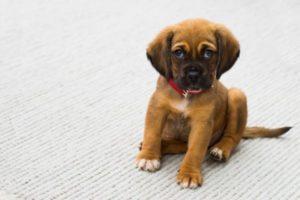 Что делать, если у щенка после прививки начался понос?