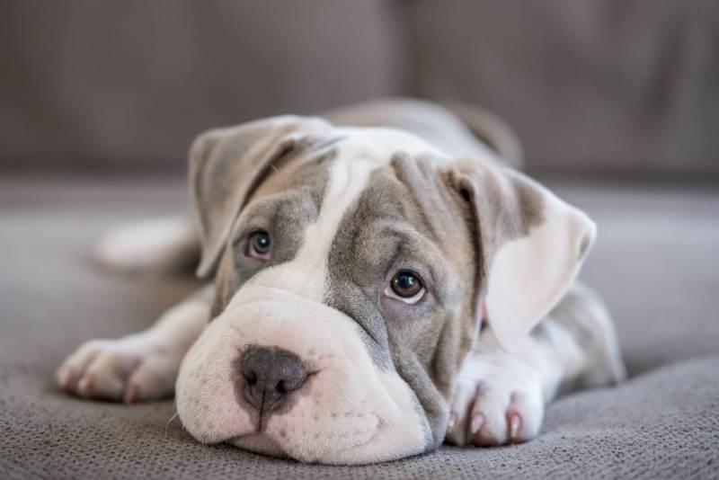 Что такое микроспория у собак: симптомы, лечение